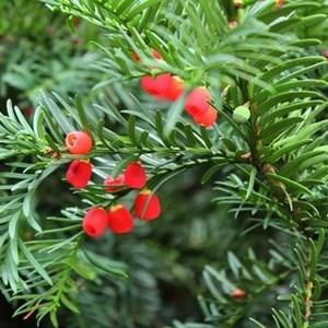 Taxus Eibe Heckenpflanze
