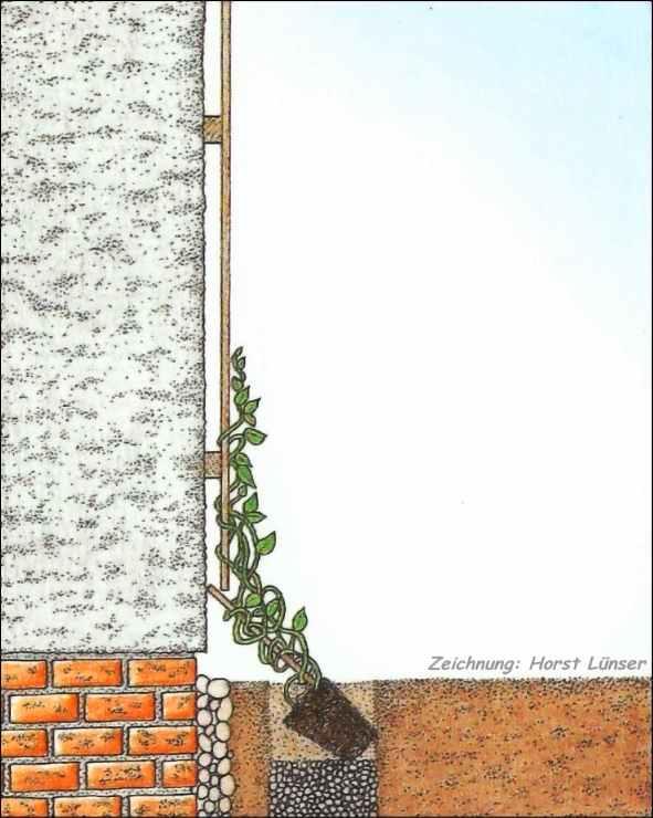 Kletterpflanzen einpflanzen