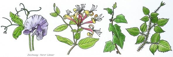 Kletterpflanzen Ratgeber